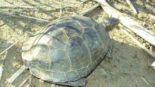 Болотная черепаха. Фото П. Амосова