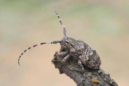 Жук-дровосек. Фото С. Шинкаренко