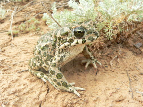 Зелёная жаба. Фото М. Пестова