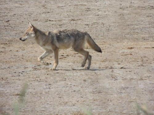 Молодой волк. Фото Н. Пирогова