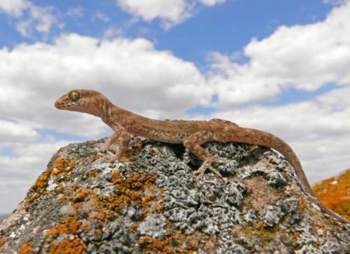 Пискливый геккончик. Фото М. Пестова