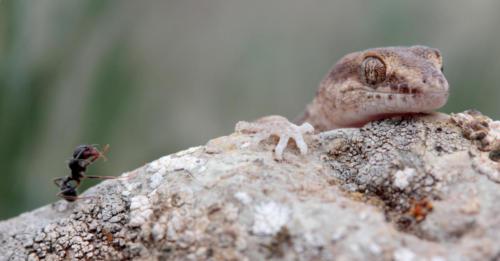 Пискливый геккончик. Фото С. Шинкаренко