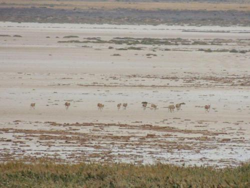 Сайгаки на озере Баскунчак. Фото К. Гребенникова
