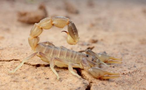 Пёстрый скорпион. Фото С. Шинкаренко