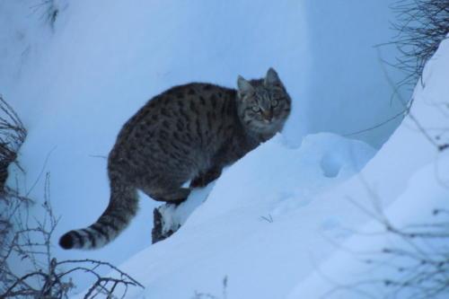 Степная кошка. Фото Ю. Ротова