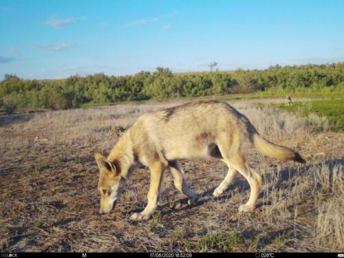 Волки на тропе
