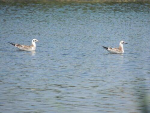 Озерные чайки. Фото Н. Пирогова