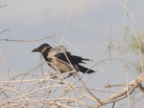 Серая ворона. Фото Н. Пирогова