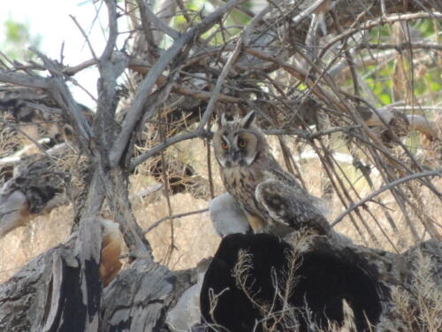 Ушастая сова. Фото Н. Пирогова
